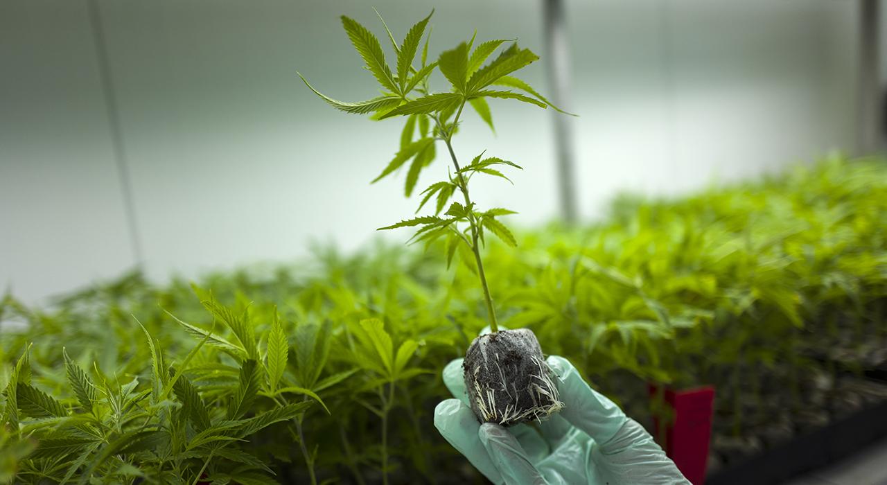 Как вызвать отвращение к марихуане выращивание конопли теплица