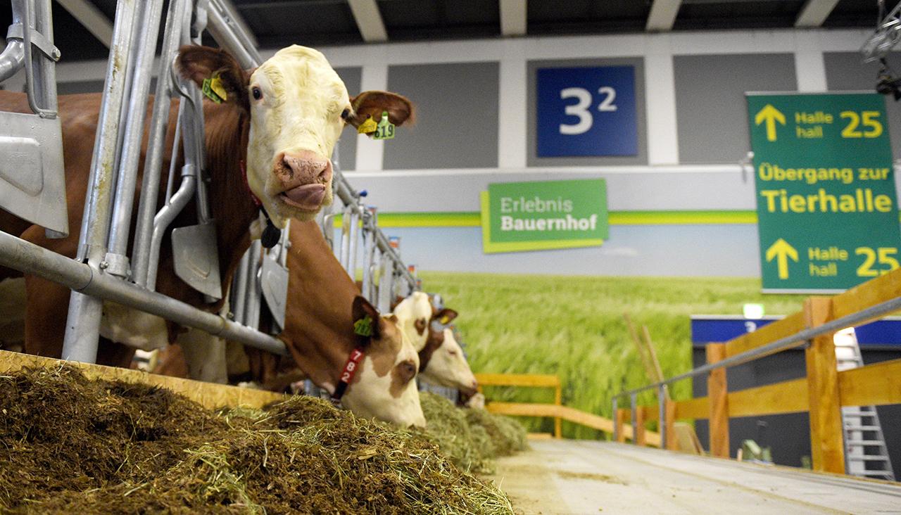 В Берлине коров держат не в хлеву, а в конференц-зале