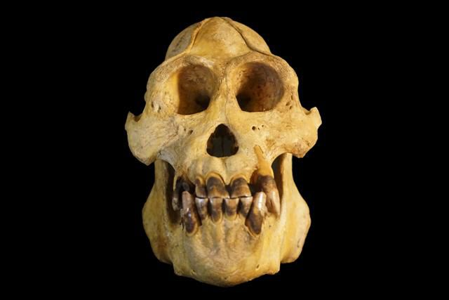 Череп Pongo tapanuliensis / Источник: Nater et al.