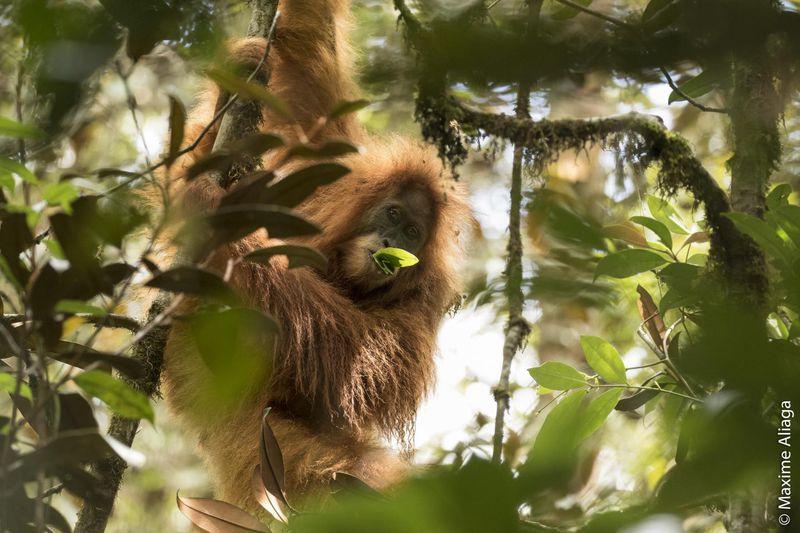 Pongo tapanuliensis - редчайшая человекообразная обезьяна на Земле