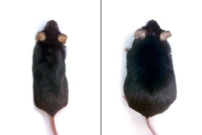 Генетически модифицированные (слева) и обыкновенные мыши (справа) после 8 недель диеты с высоким содержанием жира / Источник: Вашингтонский университет в Сент-Луисе