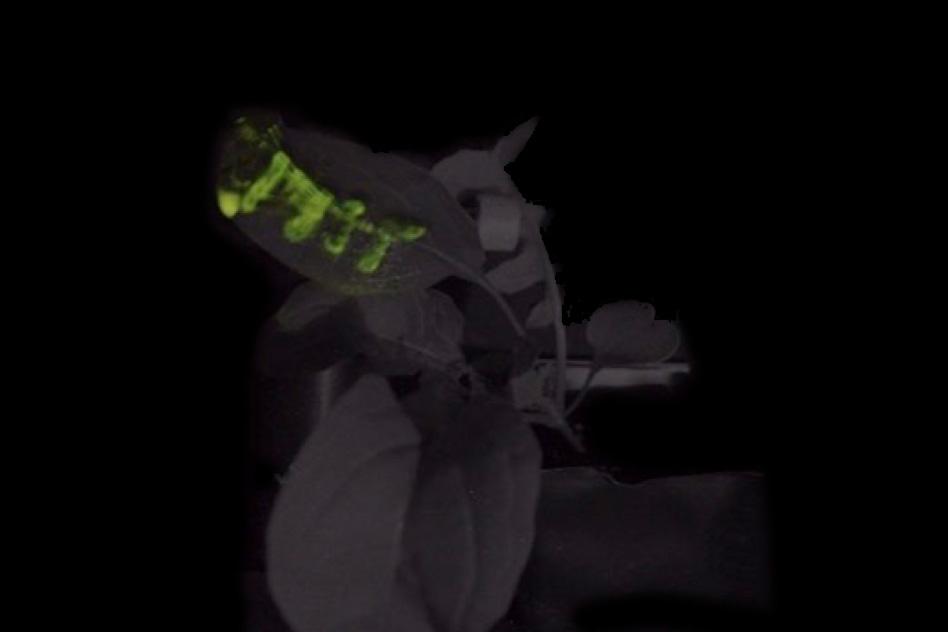 Светящийся логотип MIT напечатан на листе рукколы. Смесь наночастиц была введена в лист с помощью специально разработанного шприца