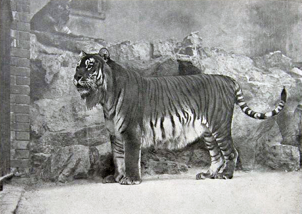 Каспийский тигр в Берлинском зоопарке, 1899 год / Источник: Wikipedia