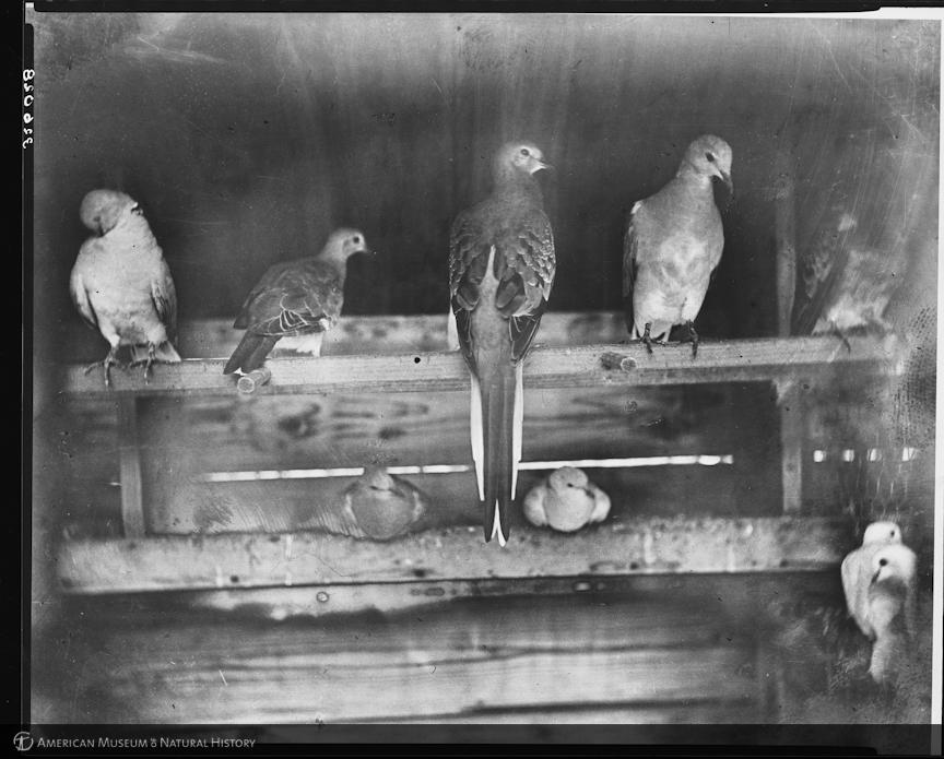 Странствующие голуби в вольере К.О. Уитмена, профессора зоологии в Чикагском университете / Источник: Wikimedia