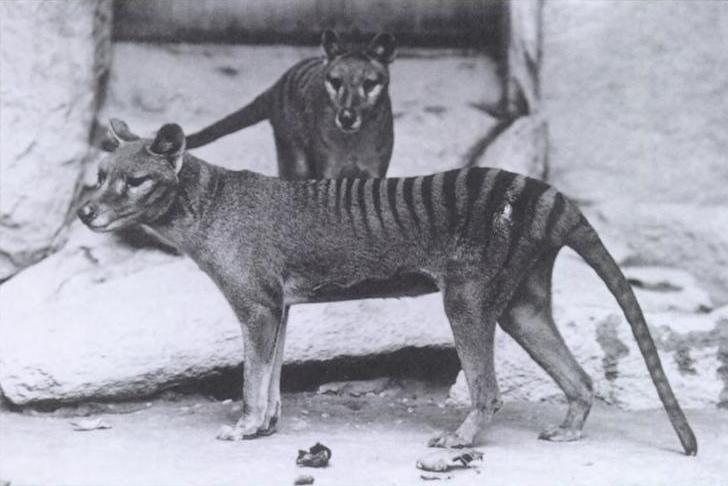 Тилацины в зоопарке Вашингтона, 1902 год / Источник: Wikipedia