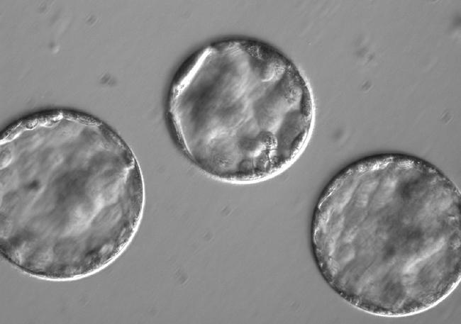 Эмбрионы после введения сперматозоида и генетического редактора Cas9