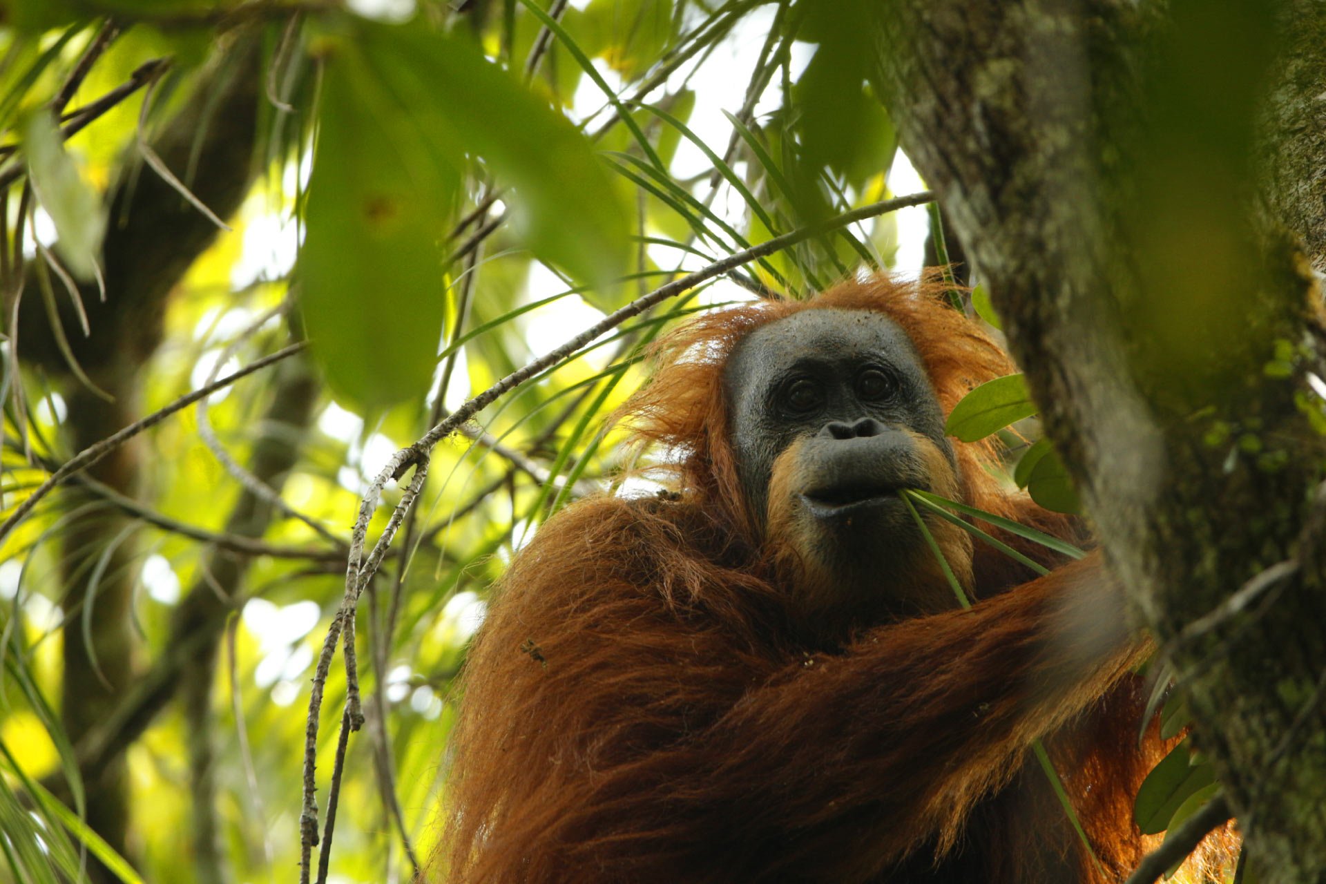 Тапанульский орангутан