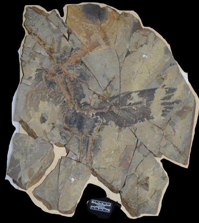 Коричневый цвет - отпечаток скелета, черный - перьев. Yu et al., 2018