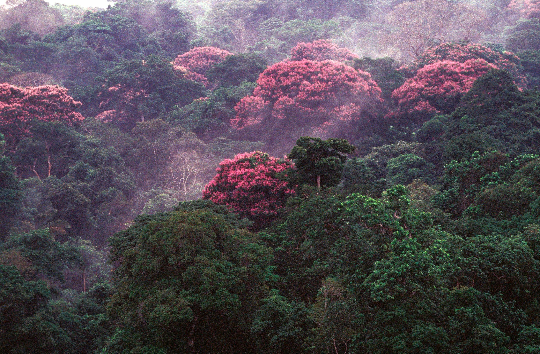 Цветущий лес на Барро-Колорадо / Фото: Маркос Гуэрра, Смитсоновский институт тропических исследований