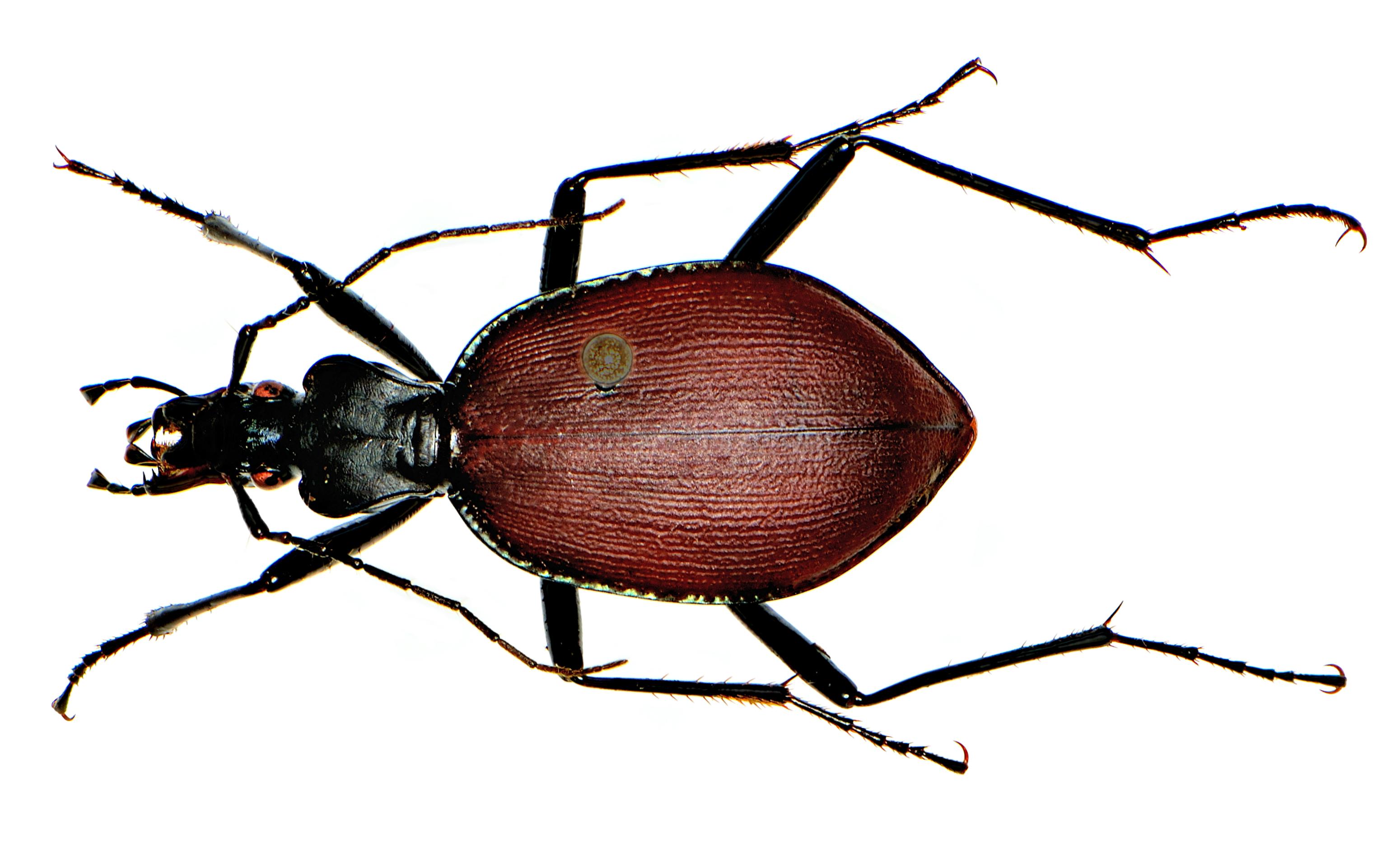 Слизнеед Scaphinotus angusticollis / Wikimedia Commons