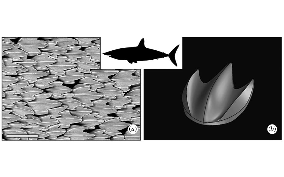 Слева — микрофотография кожи акулы. Длина масштабной линейки — 200 микрометров. Справа — трехмерная модель одной чешуйки, которую авторы использовали в данной работе