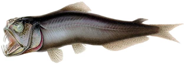 Мезопелагическая рыба Coccorella atrata / Источник: Wikimedia