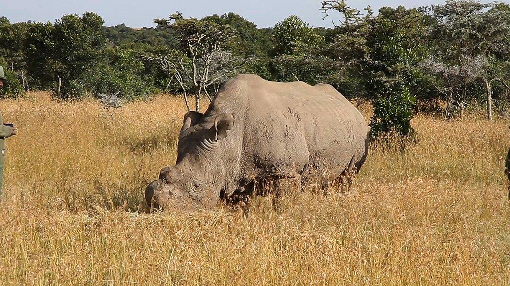 Последний самец северных белых носорогов умер в марте 2018 года / Источник: Wikipedia