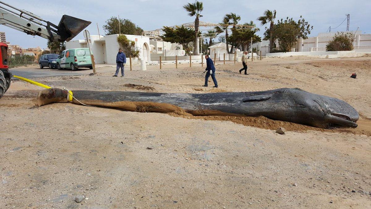 Мертвый кашалот на пляже в Мурсии / Источник: Twitter @EspNaturalesMur