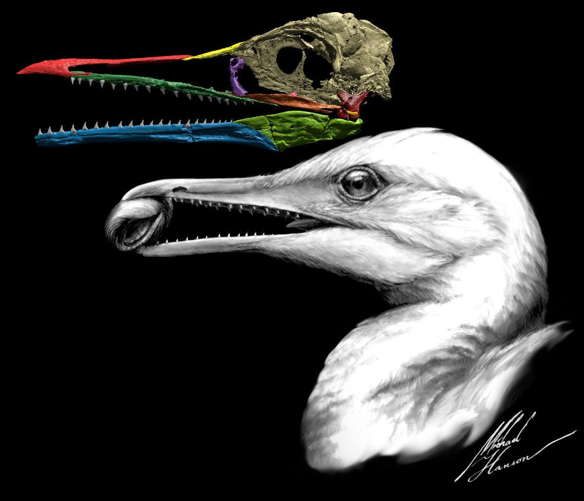 Трехмерное изображение черепа ихтиорниса и реконструкция его головы в представлении художника / Изображение: Michael Hanson / Yale University