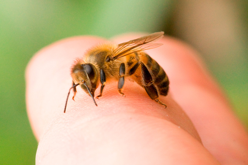 В мае — июне, когда люди выезжают на природу, у насекомых повышенная активность. Кусаются комары, мошки, жалят осы и пчелы
