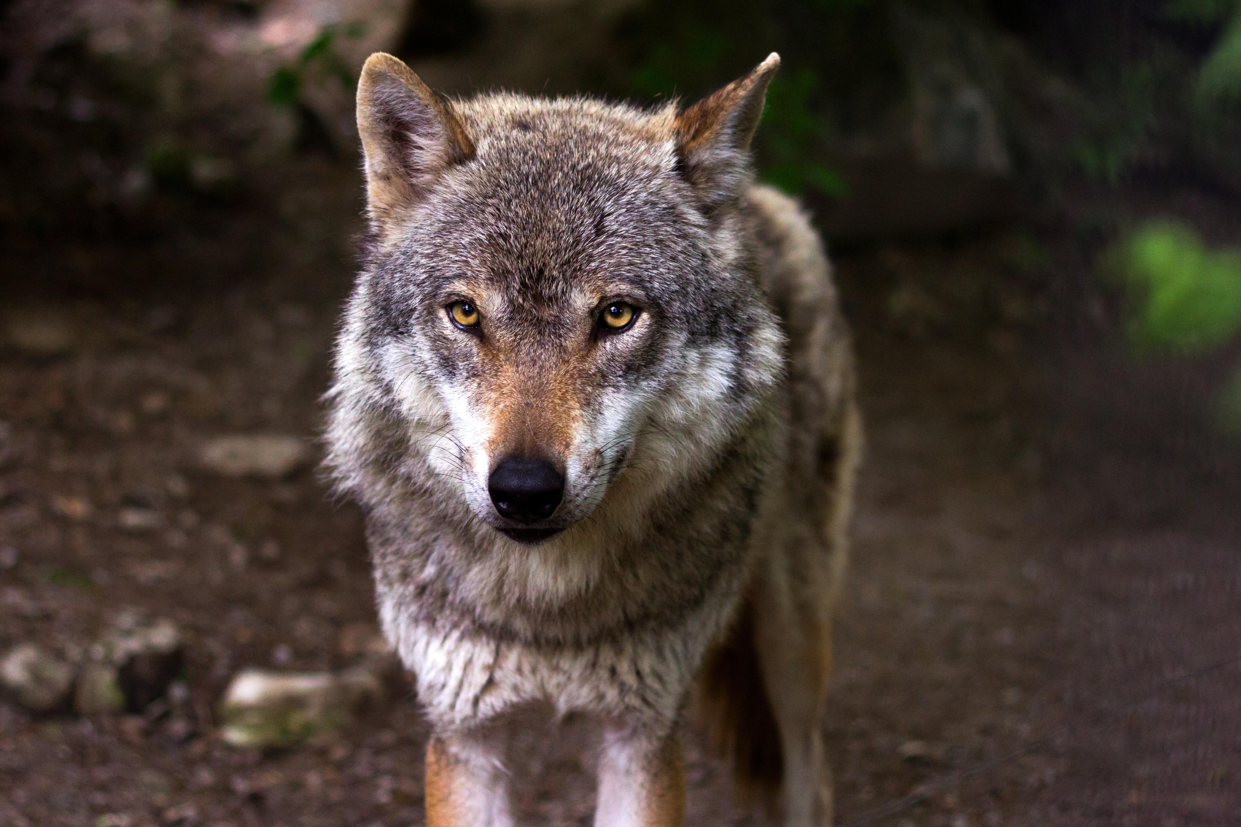 В Украине в частных руках находятся несколько сотен львов, больше 200 медведей, около 1000 волков и волко-собачьих гибридов