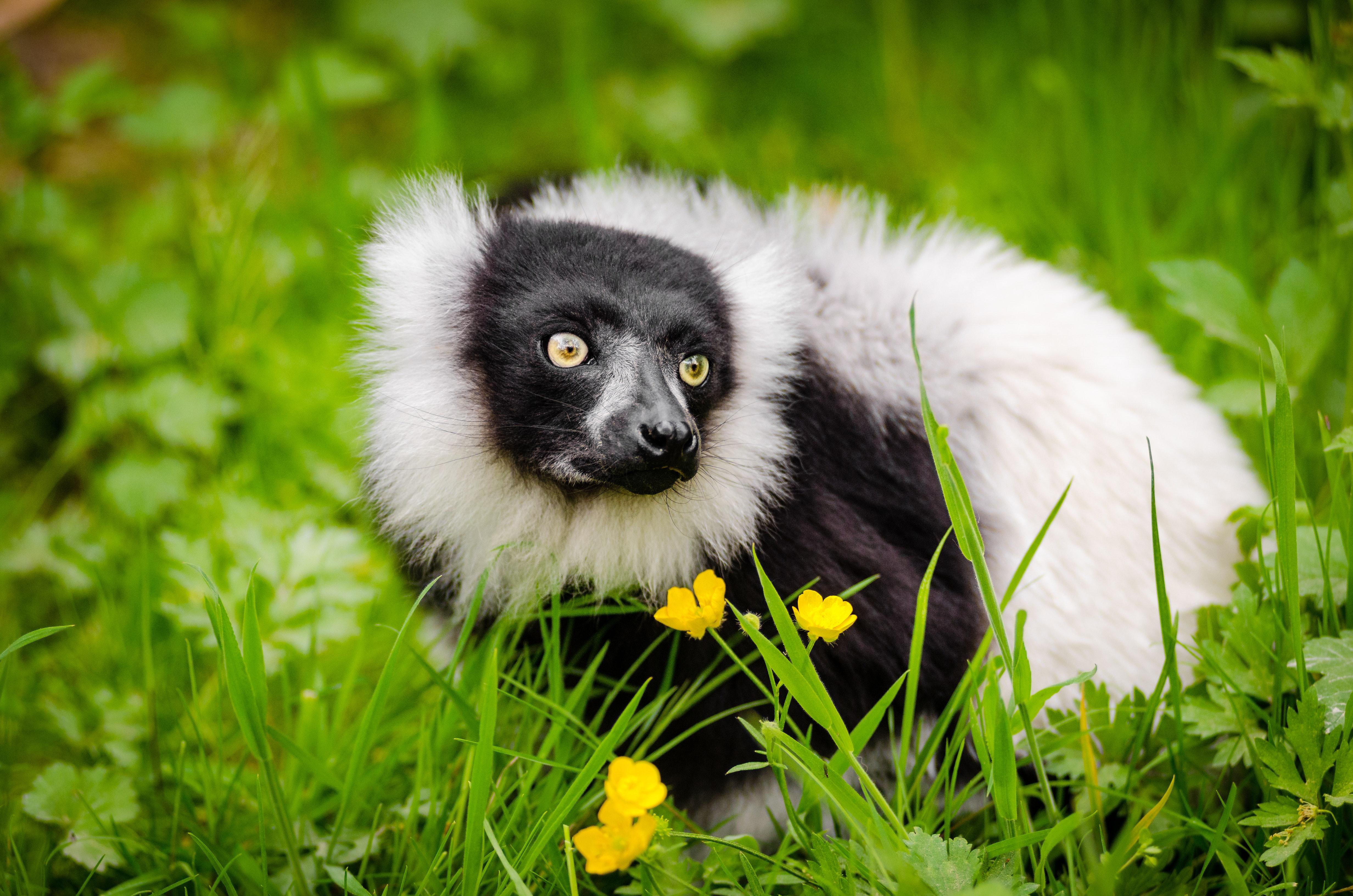 """Если вы идете в контактный """"зоопарк"""" погладить лемура, значит вы поддерживаете контрабанду лемуров Мадагаскара"""