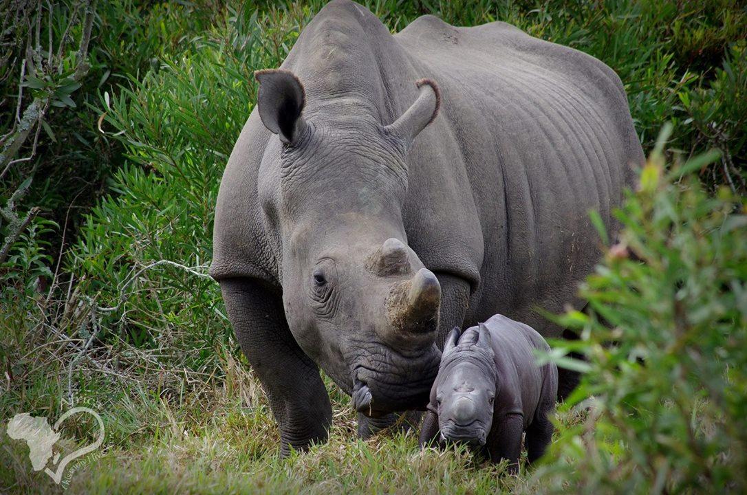 Самка носорога Белла, убитая браконьерами в июне 2018 года / Фото: Facebook