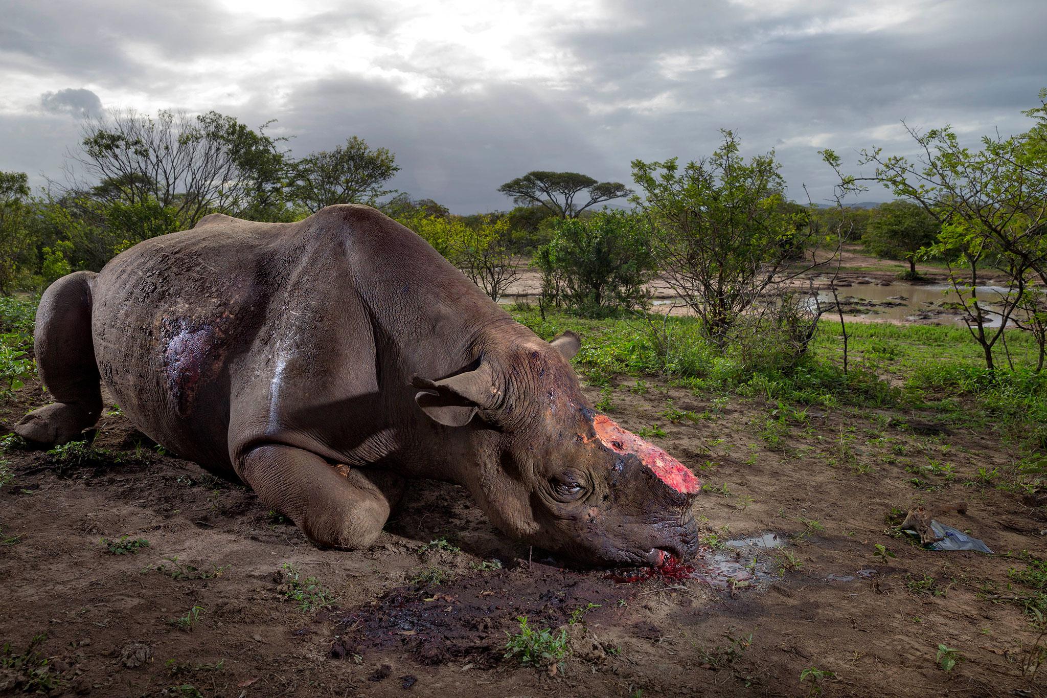 В 2017 году в Южной Африке браконьеры убили более 1000 носорогов / Фото: BRENT STIRTON