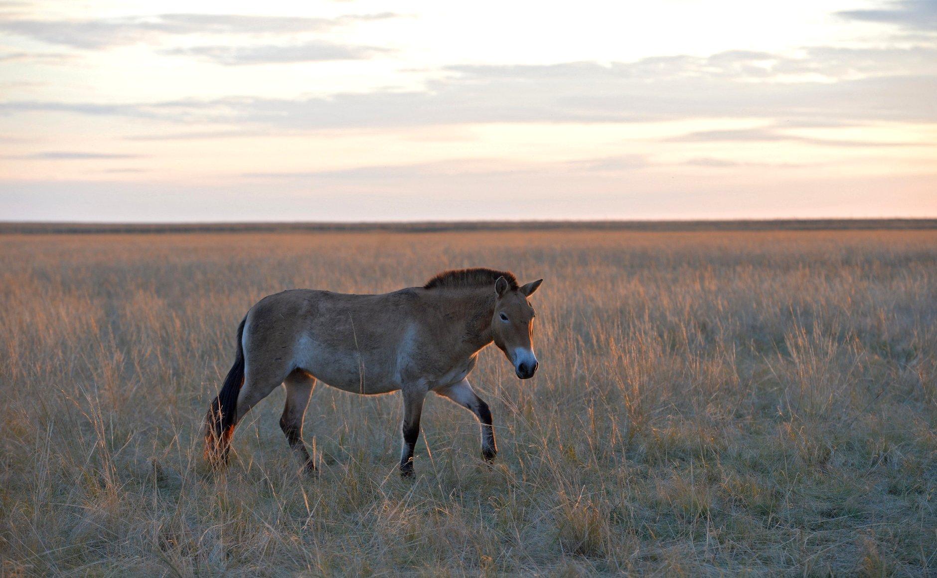 Нельзя выпускать лошадей Пржевальского в зонах, где возможно перекрытие с домашней лошадью