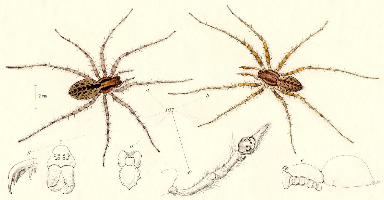 Tegenaria domestica (домовый паук) распространен по всему миру. Часто селится в жилищах человека, строит воронкообразные сети и охотится на насекомых / Иллюстрация: DELTA/Intkey