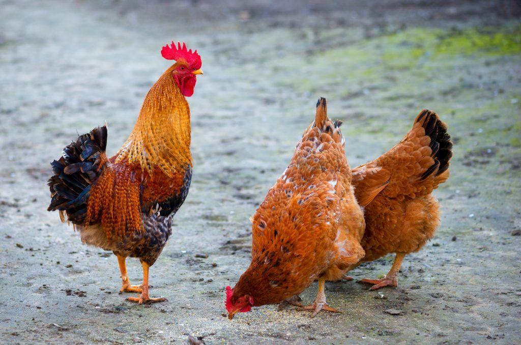 Яйца домашней птицы свободного выпаса в Мариуполе, Кривом Роге и Харькове оказались загрязнены диоксинами