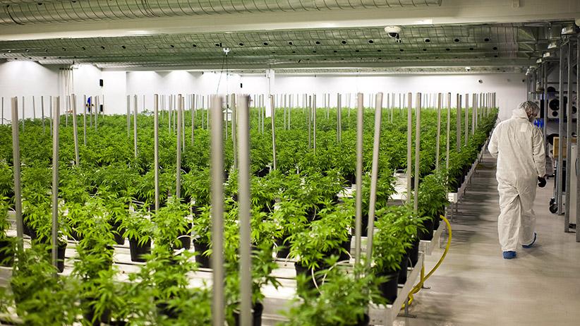 Город Онтарио, 2015 год: медицинский каннабис выращивают в теплицах с климат-контролем, под надзором специалистов (James MacDonald/Bloomberg)