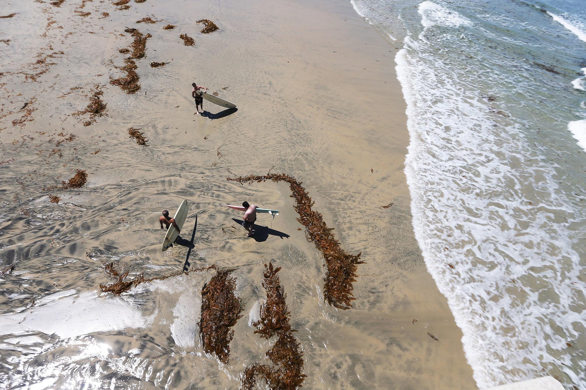 Водоросли вымыло на берег у пирса Скриппс в Сан-Диего, где температура поверхности моря достигла рекордно высокого уровня в августе 2018 года / NY Times