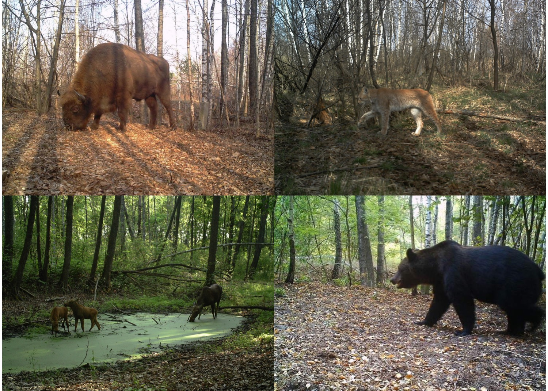 Европейский бизон (Bison bonasus), обыкновенная рысь (Lynx lynx), лось (Alces alces) и бурый медведь (Ursus arctos), сфотографированные в Чернобыльской зоне отчуждения / TREE / Сергей Гащак