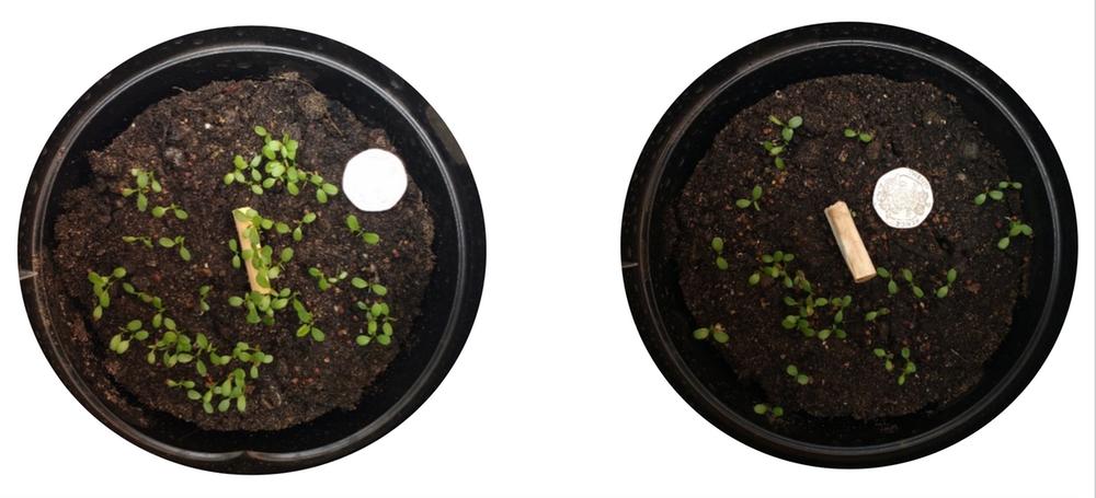 Рост растений вокруг деревянной палочки (слева) и вокруг окурка